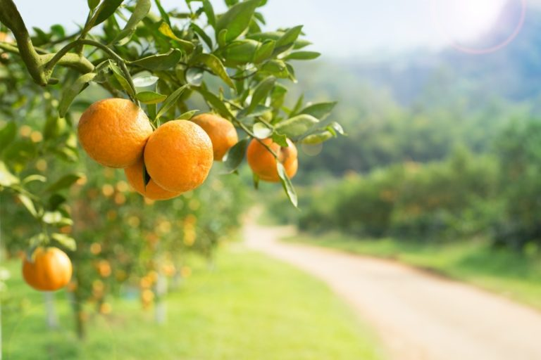 close up shot of oranges in the orchard